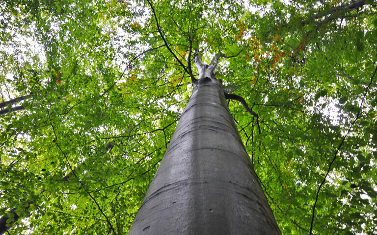 Reusachtige beukenbomen