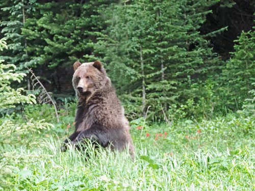 Grizzly, Rockies Canada