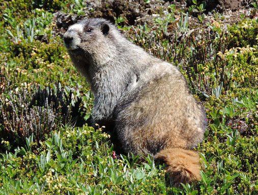 Skyline - Marmot